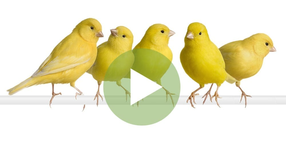 YellowChicks_VideoPic