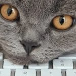 Gray cat resting its head on a keyboard